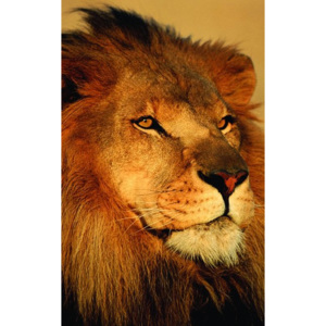 Fotoobraz - African Lion (Close-Up)