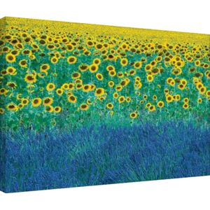 Obraz na plátne David Clapp - Sunflowers in Provence, France, (80 x 60 cm)
