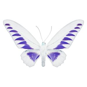 MISS BUTTERFLY BROOKIANA - X-RAY White Edition, (128 x 85 cm)