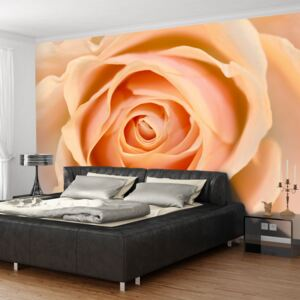 Fototapeta Bimago - Peach-colored rose + lepidlo zadarmo 200x154 cm