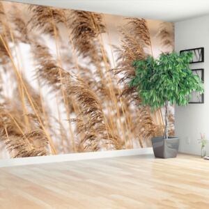 Fototapeta Brown reed